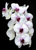 Orchidea Blà ¼ te Zdjęcia Royalty Free