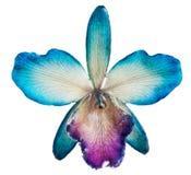 Orchidea blu Fotografie Stock