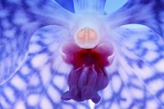 Orchidea blu di Vanda fotografia stock libera da diritti