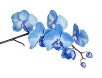 Orchidea blu su fondo bianco Immagine Stock