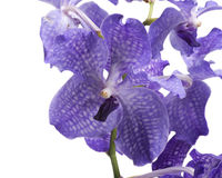 Orchidea blu, Vanda Coerulea. Violet flower Stock Photography