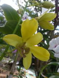 Orchidea che bloomming Fotografie Stock