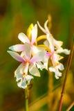 Orchidea che cresce in La Gran Sabana, Venezuela Fotografia Stock