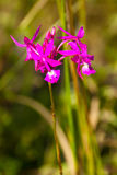 Orchidea che cresce in La Gran Sabana, Venezuela Immagine Stock Libera da Diritti