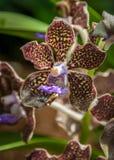 Orchidea chiazzata viola, marrone e gialla Fotografia Stock