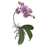 Orchidea con i fiori Immagini Stock