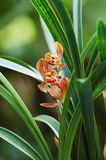 Orchidea con i fogli Fotografia Stock