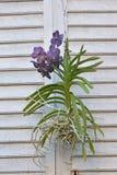 Orchidea con le radici Finestra d'annata Fotografia Stock Libera da Diritti