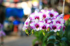 Orchidea del Dendrobium Fotografie Stock