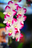 Orchidea del Dendrobium Fotografia Stock