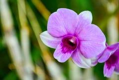 Orchidea del Dendrobium Fotografie Stock Libere da Diritti