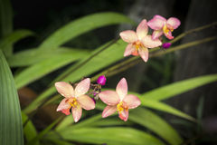 Orchidea del Dendrobium Immagini Stock Libere da Diritti