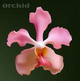 Orchidea del fiore Fotografie Stock Libere da Diritti