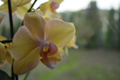 Orchidea del fiore Immagini Stock