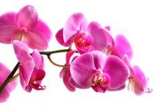 Orchidea del fiore - phalaenopsis immagine stock libera da diritti