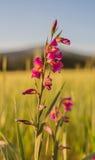 Orchidea del Helleborine rosso con la lampadina Fotografia Stock