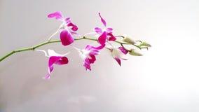 orchidea del mazzo Immagine Stock