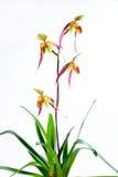 Orchidea del Paphiopedilum Fotografie Stock Libere da Diritti