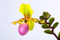 Orchidea del Paphiopedilum Immagine Stock