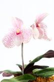 Orchidea del Paphiopedilum Fotografia Stock