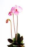 Orchidea del Paphiopedilum Fotografie Stock