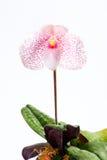 Orchidea del Paphiopedilum Fotografia Stock Libera da Diritti