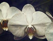 Orchidea dell'annata Immagine Stock Libera da Diritti