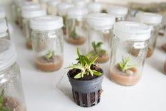 Orchidea della cultura di tessuto vegetale Fotografie Stock