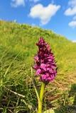 Orchidea della dactylorhiza Fotografia Stock