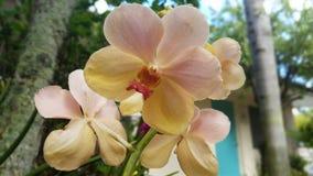 Orchidea della pesca Fotografie Stock