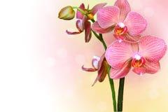 Orchidea della sorgente fotografia stock