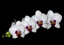 Orchidea della Tailandia Immagini Stock Libere da Diritti