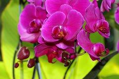 Orchidea della Tailandia Fotografie Stock Libere da Diritti