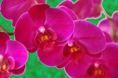 Orchidea dentellare Immagini Stock