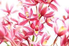 Orchidea dentellare Immagine Stock Libera da Diritti