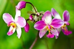 Orchidea dentellare del fiore Fotografia Stock Libera da Diritti