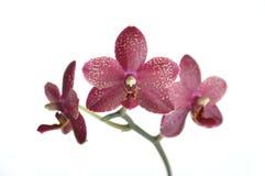 Orchidea dentellare e bianca di Phalaenopsis immagine stock
