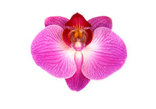 Orchidea dentellare isolata Fotografia Stock Libera da Diritti