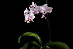 Orchidea dentellare isolata sul nero fotografia stock libera da diritti