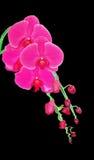 Orchidea dentellare isolata sul nero Fotografia Stock