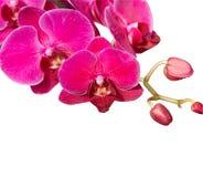 Orchidea dentellare su bianco Fotografia Stock