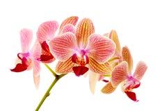 Orchidea dentellare su priorità bassa bianca Immagini Stock Libere da Diritti