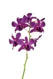 Orchidea dentellare su priorità bassa bianca Immagine Stock