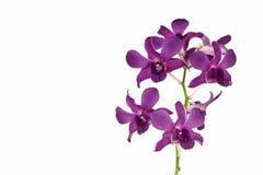 Orchidea dentellare su priorità bassa bianca Fotografia Stock Libera da Diritti