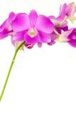 Orchidea dentellare su priorità bassa bianca Fotografia Stock