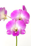 Orchidea dentellare su priorità bassa bianca Fotografie Stock Libere da Diritti