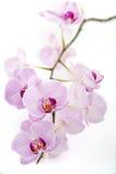 Orchidea dentellare su una priorità bassa bianca Immagini Stock