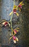 Orchidea di Alofolium del Cymbidium sul fondo dell'albero Fotografia Stock Libera da Diritti