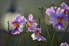 Orchidea di bambù Fotografie Stock