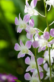 Orchidea di bigibbum del Dendrobium Fotografia Stock